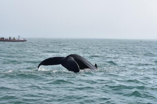 Humback whale, slovenský názov stále neviem :)