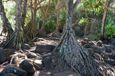 """Nad plážou kraľujú tieto chodiace stromy, naozaj sa počas svojho života posúvajú, vďaka tým """"nožičkám""""."""