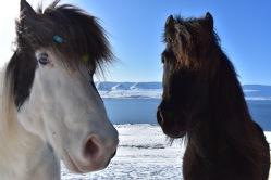 Islandské nádherné kone