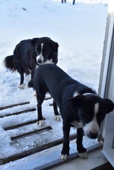 A naše farmárske psíky, Tiny a Spóri. Takto nejako sa tvária, keď nesmú ísť dovnútra :)