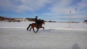Špeciálny krok islandských koní - tölt.