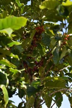 Plody kávovníka.