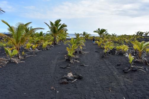 Chodník vedúci k pláži je v niektorých častiach lemovaný mladými palmami.