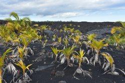 Väčšina týchto mladých kokosových pálm tu bola vysadená miestnymi.